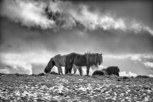 Icelandic Horse winter long hairJohannes Frank
