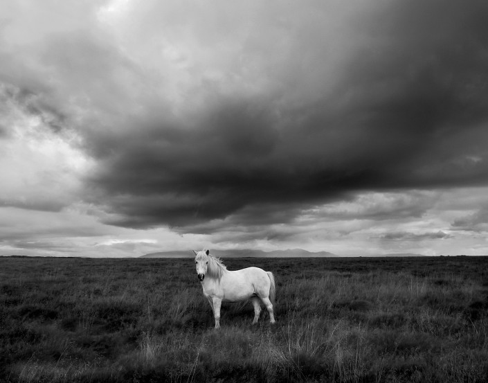 Icelandic White Horse summer Johannes Frank
