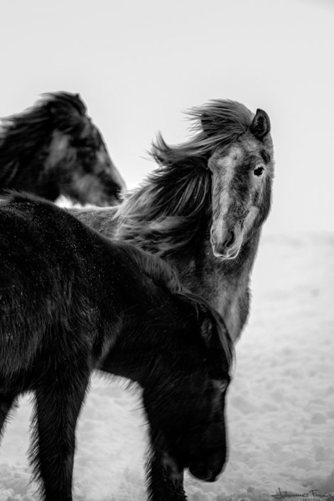 Icelandic beauty foul young horse winter