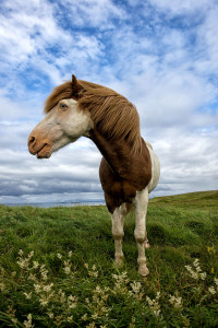 Icelandic Summer Horses red hair with blue eyseJohannes Frank