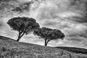 Two Trees Sicily black and white Johannes Frank