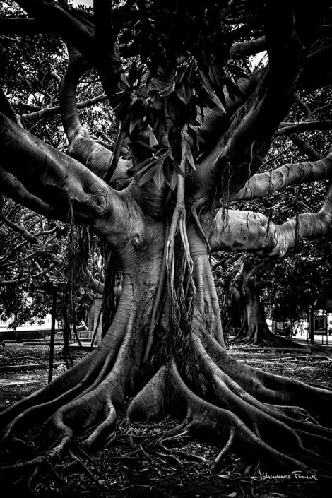 Tree in Messina Johannes Frank
