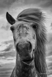 Grey Icelandic horse Johannes Frank