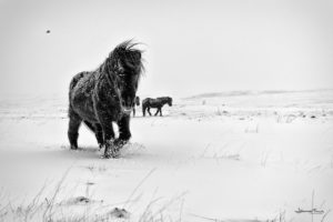 winterhorse walking in the snow johannesfrank