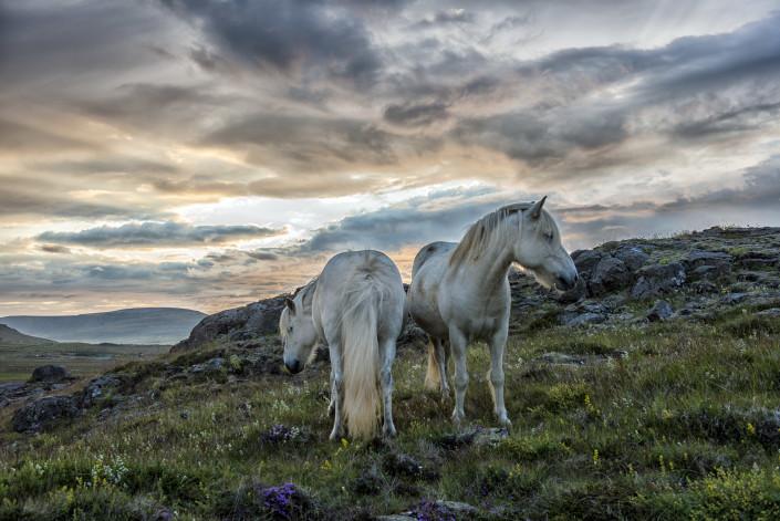 Icelandic Summer Horses Johannes Frank
