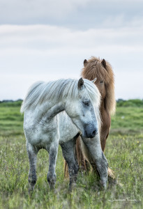 Red and white Icelandic horseshJohannes Frank