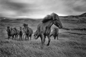 Icelandic Horses running summer Johannes Frank