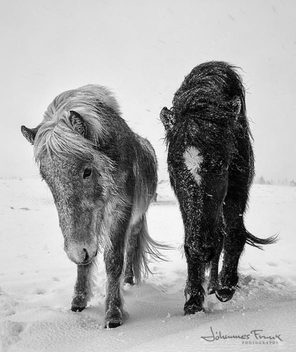 Icelandic Horses Winter Johannes Frank