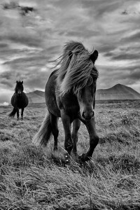 Icelandic Horses Johannes Frank
