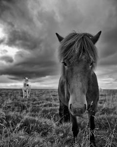 Icelandic Horse summer Johannes Frank