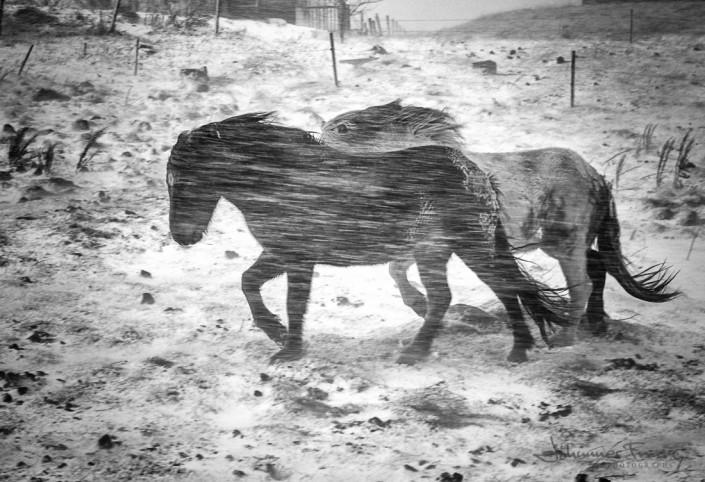 Icelandic Horses Winter Storm Johannes Frank