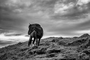 Black Icelandic Horse Johannes Frank