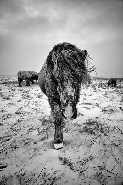 Icy Icelandic Horse Winter Johannes Frank