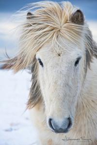 Icelandic horses by johannesfrank