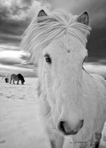 white horse winter Iceland