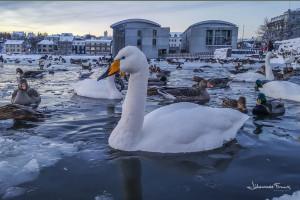 Reykjavik pond birds johannesfrank