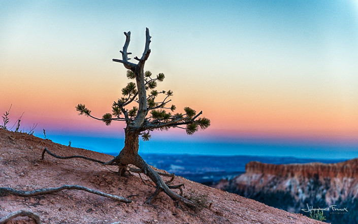 Travel Images Tree at Bryce Canyon sunrice Johannes Frank