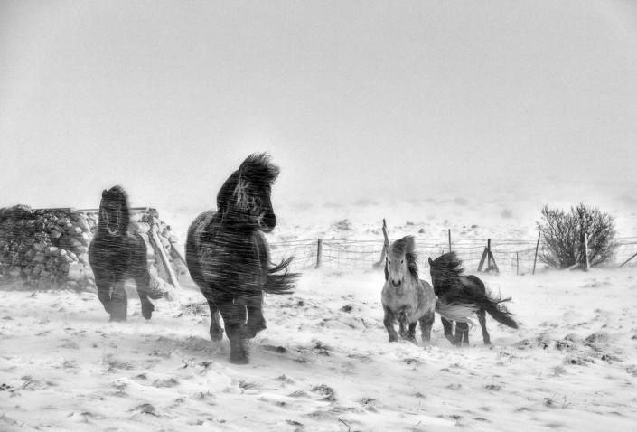 Icelandic Horse winter Johannes Frank