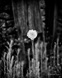White flower Johannes Frank