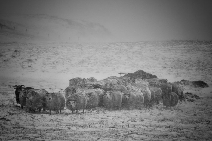 Sheeps Staying Close together in a Storm