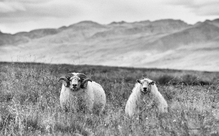 Male and femal sheeps look into the camera