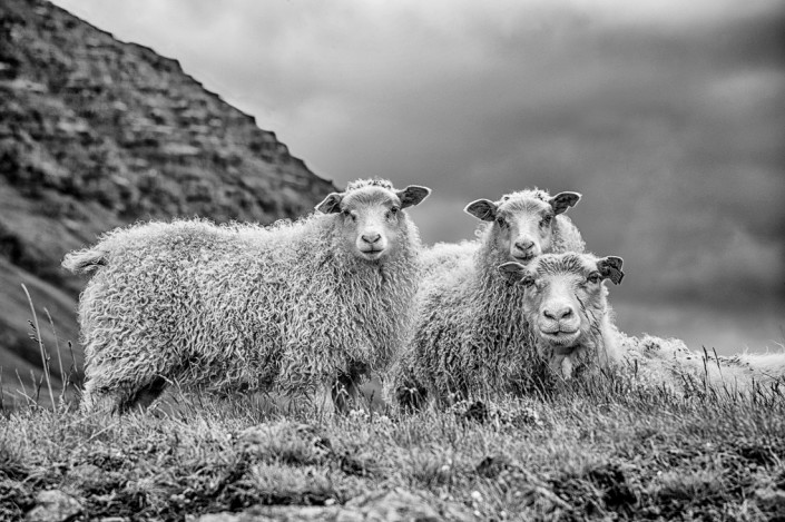 Sheep and two young sheeps Johannes Frank