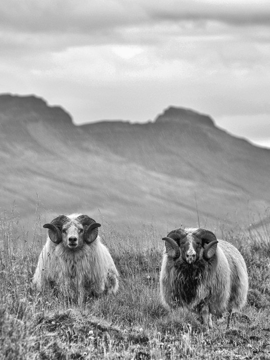 Two Male sheeps looking in the camera