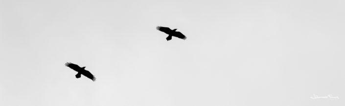 Ravens Hrafnar johannes Frank