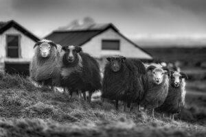 5 female sheep