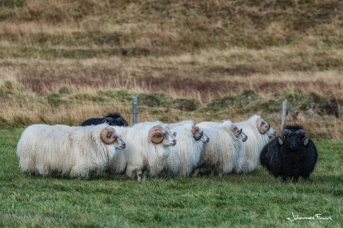 icelandic ram sheep johannesfrank