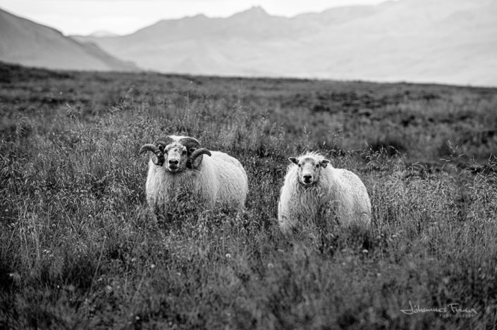 Icelandic sheep field johannesfrank