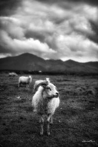 sheeps lambs hvalfjordur johannesfrank
