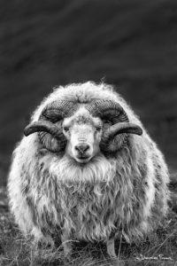 Ram icelandic hrutur johannesfrank