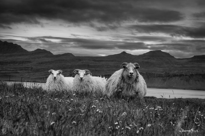 Sheep and lambs East Iceland johannesfrank