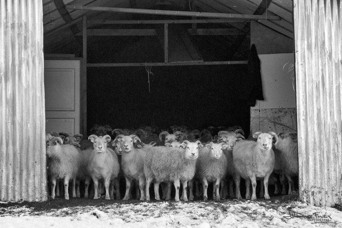 sheep and house