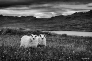 Two lambs in the field johannesfrank