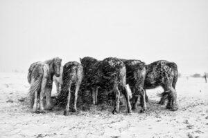 Icelandic horses feeding in a snow storm